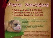 Bulldog divinos de bullcanes, perfectos para esta navidad!!