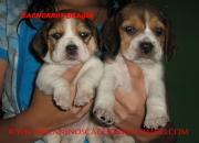venta de cachorros mascotas de diferentes razas de criadero