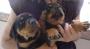 Cachorros de Rottweiler Disponibles.