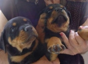Cachorros de Rottweiler Disponibles.