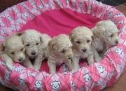 Vendo hermosas mascotas french poodle 45 dias