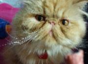 Vendo una pareja de gatos persa